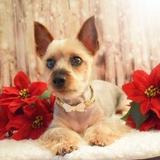 Brimbelle - Australian Silky Terrier