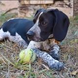 Skunk - Beagle