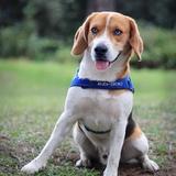 Loufi - Beagle