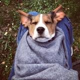 Nino - Beagle