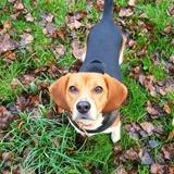 Léxie  - Beagle