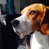 Loustic - Beagle