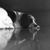 zizelthebeagle - Beagle
