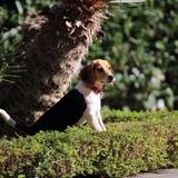Joy - Beagle