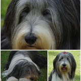 Fendie - Bearded Collie