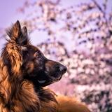 Hiko (06) - German Shepherd