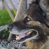Rex et Guizmo - German Shepherd