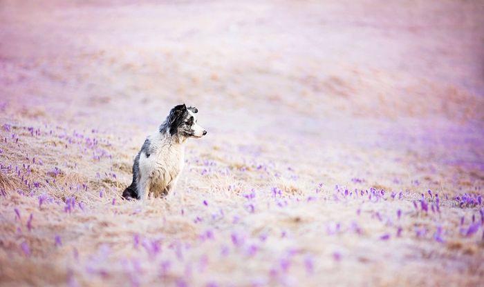 Melly Australian Shepherd - Australian Shepherd