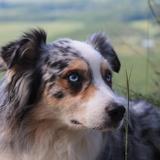 melton - Pastor ovejero australiano