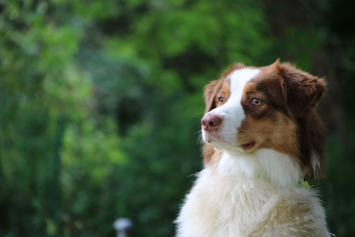 Montana - Australian Shepherd