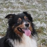 Farouc - Australian Shepherd