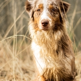 Mallia - Australian Shepherd