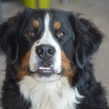 Jenna - Bernese Mountain Dog