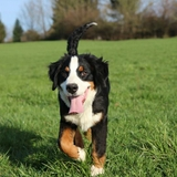 Joy Tess - Bernese Mountain Dog