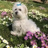 Fifty - Maltese
