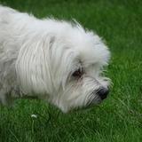 Flipper ☺ dit Fifi (65) - Maltese