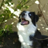 Jade - Border Collie