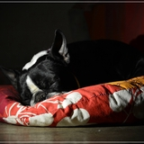 Lili (06) - Boston Terrier
