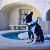 marley31 - Boston Terrier