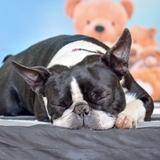 Lili (06) - Boston Terrier