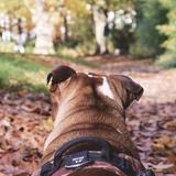 Albus - English Bulldog