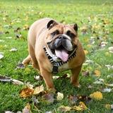 Nova - English Bulldog