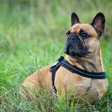 Igloo - French Bulldog