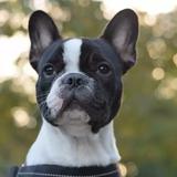 Guizmo - French Bulldog