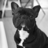 Lewis - French Bulldog