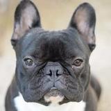 M'amour - French Bulldog