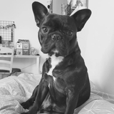 Lewis - French Bulldog