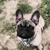 Mayko - French Bulldog