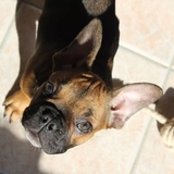 Oscar - French Bulldog