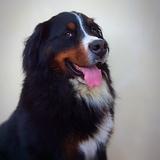 Baloo - Bernese Mountain Dog