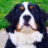 Aslan - Bernese Mountain Dog