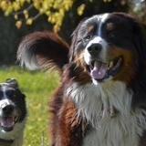 Prince - Bernese Mountain Dog