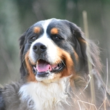 Bernesie - Bernese Mountain Dog