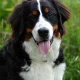 Kenzo - Bernese Mountain Dog