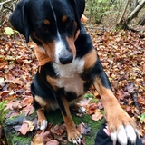 🐾 Loopsy 🐾 - Appenzeller Sennenhund