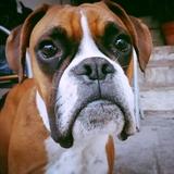 Francis - Boxer
