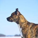 Molly - Boxer