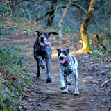 Bella & Briska - German Pointer
