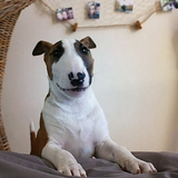 Mcfly - Bull Terrier