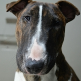 Ixy  - Bull Terrier