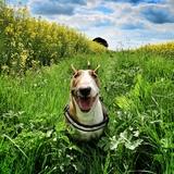 Joziane - Bull Terrier