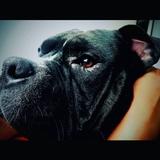 Kimbo - American Bulldog