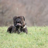 Innocent  - Bullmastiff
