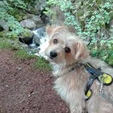 Cléo - Cairn Terrier