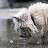Indy - Cairn Terrier