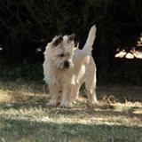 JURUS78270 - Cairn Terrier